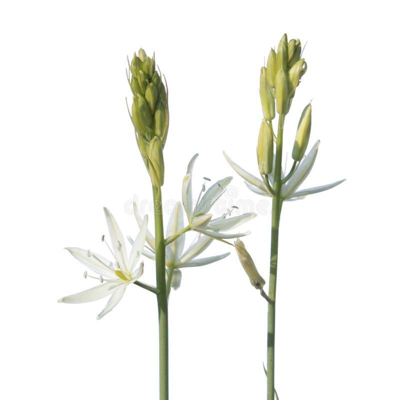 Stella del fiore di Betlemme o del ponticum del Ornithogalum isolata su fondo bianco fotografia stock libera da diritti