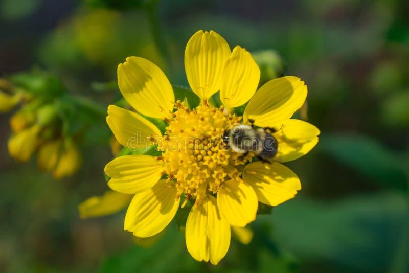 Stella e Honey Bee dorati immagine stock