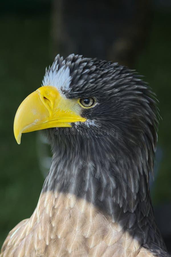 Stella Sea Eagle imagens de stock