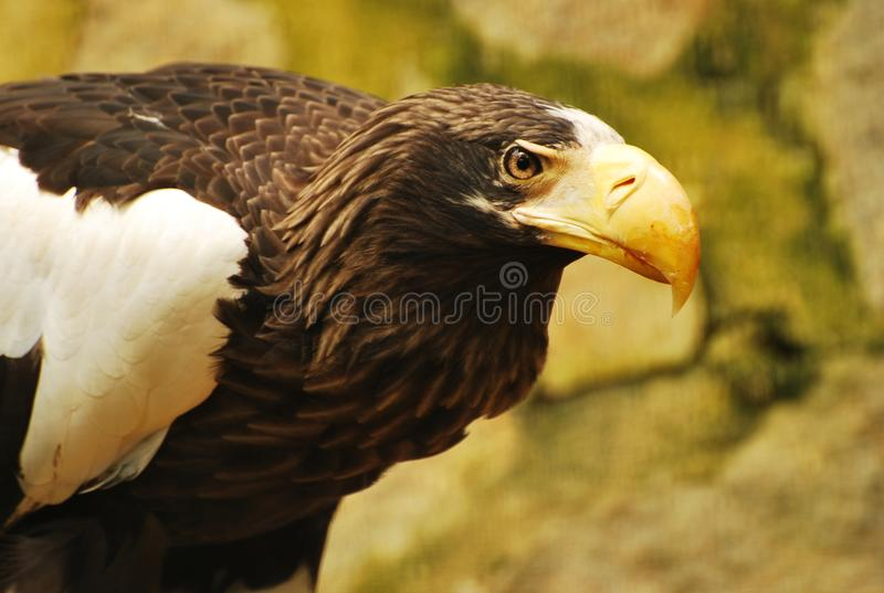 A stella sea eagle stock image