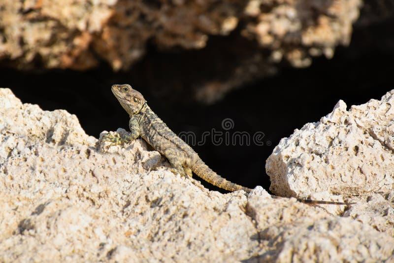 Stellagama Stellio Laudakia Stellio, Roughtail-Felsen-Dickzungeneidechse, die auf dem Stein sitzt stockfotos