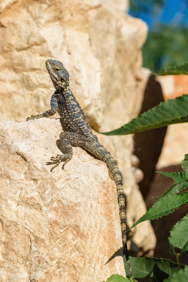 Stellagama lizard on the rock in Turkey royalty free stock photography