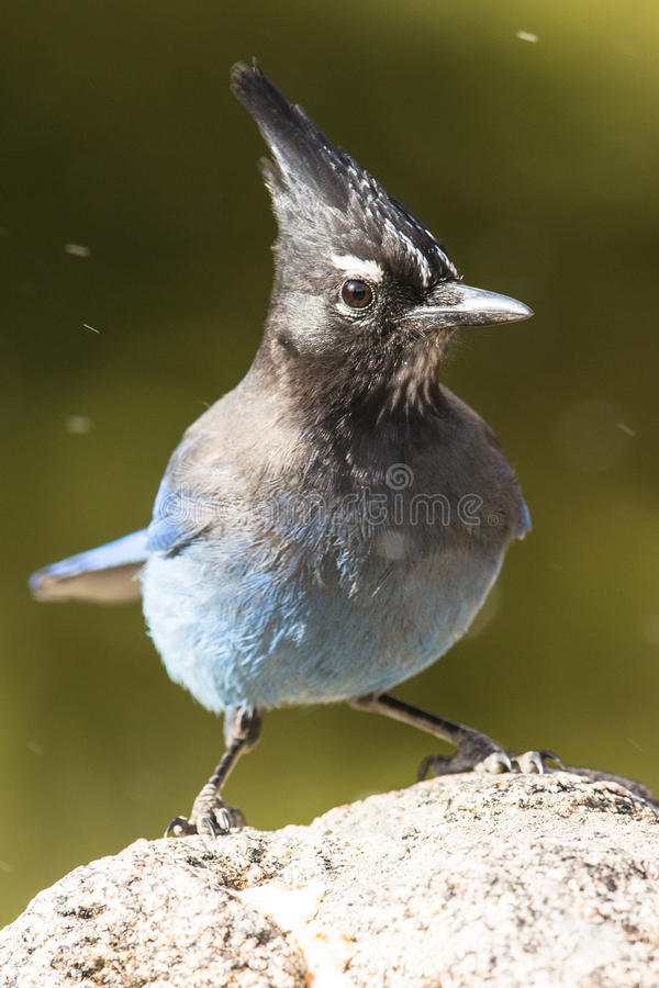 Stellar jay portrait. With green background stock photography