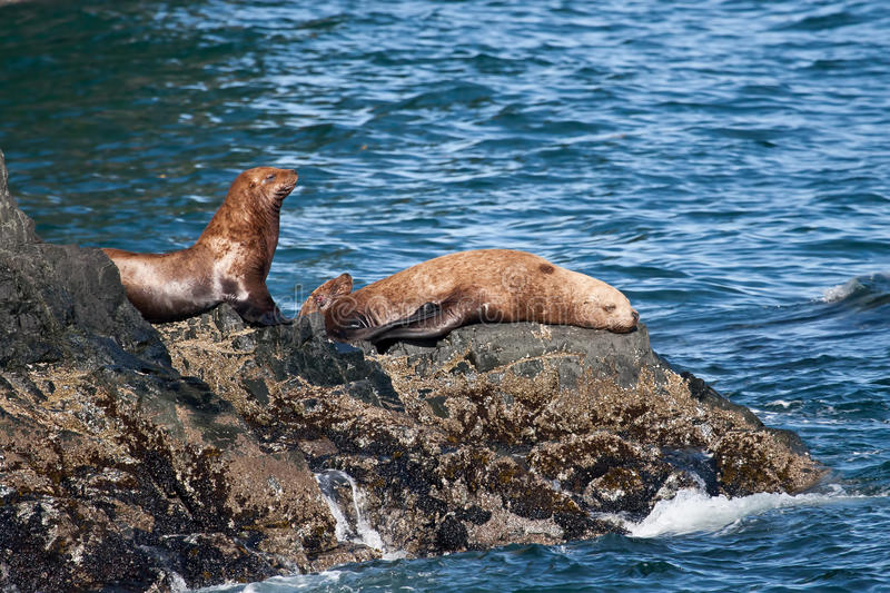 Stellar Sea Lions stock photo