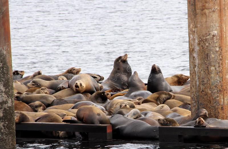 Stellar Sea Lions making themselves at French Creek Marina, on Vancouver Island, BC royalty free stock photography