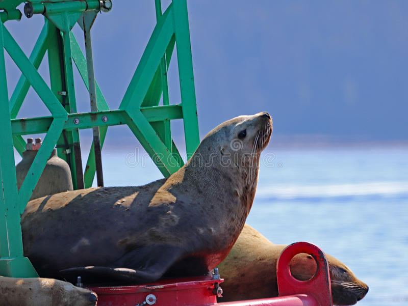 Stellar Sea Lions resting in the sun royalty free stock photography