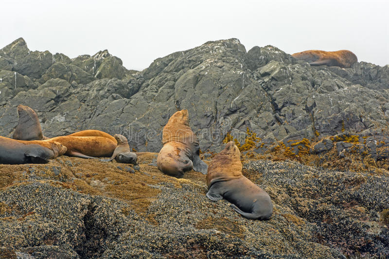 Stellar Sea Lions on a Rocky Island stock photos