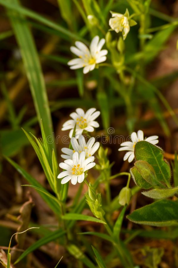 Stellaria Holostea do grande Stitchwort imagens de stock royalty free