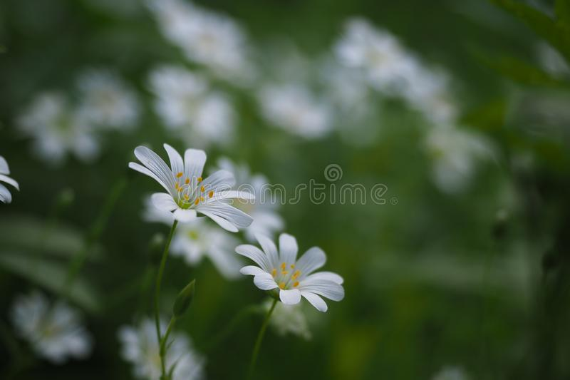 Stellaria media, chickweed close up, selected focus stock photography