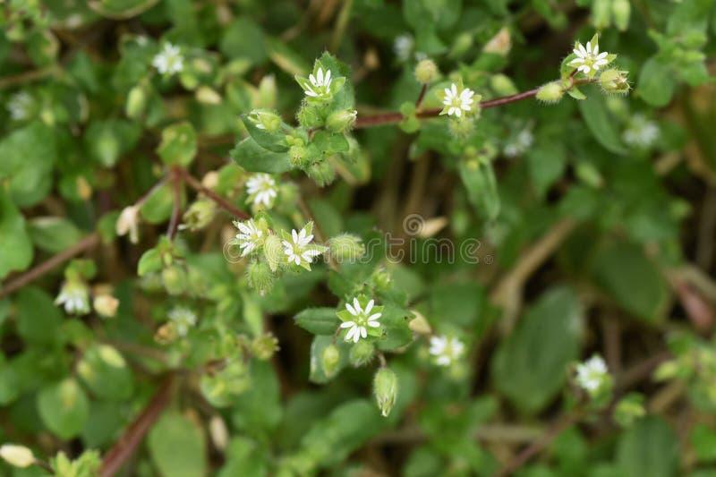 stellaria ?rodk?w kwiaty fotografia stock