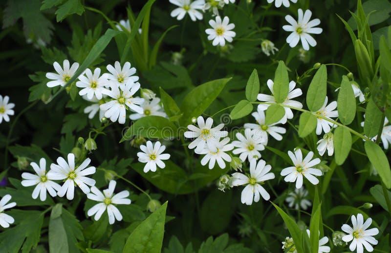 Stellariaholostea för vita blommor, utvalt fokusslut upp arkivfoton