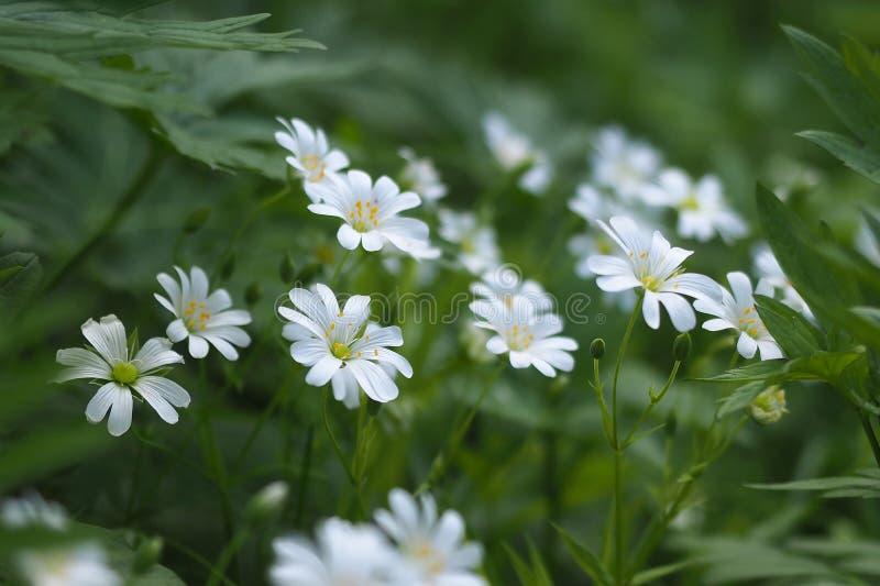 Stellariaholostea för vita blommor, utvalt fokusslut upp royaltyfri bild