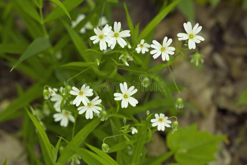 stellariamedia bloemen stock foto's