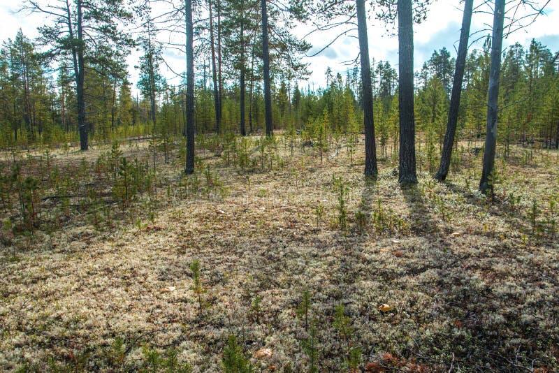 Stellaris de Cladonia dans la forêt polaire Nadym Yamal photos stock