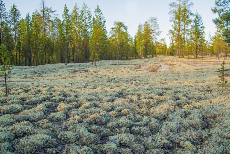Stellaris di cladonia nella foresta polare fotografia stock