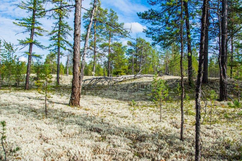 Stellaris di cladonia nella foresta polare immagini stock