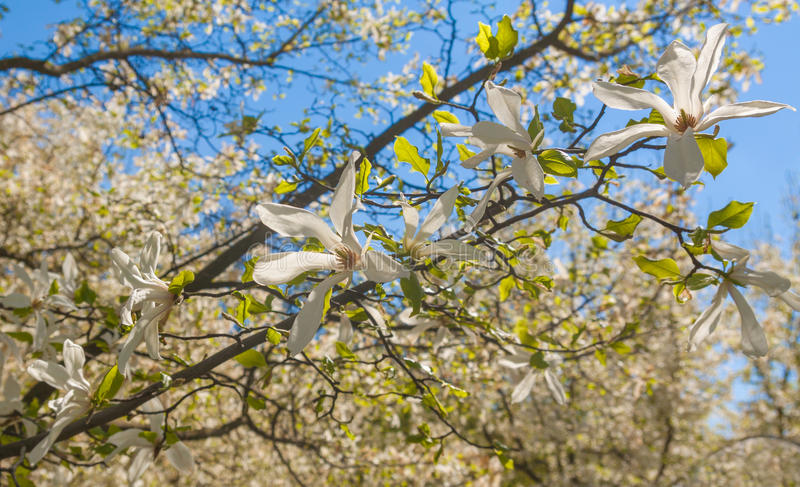 Stellata de la magnolia foto de archivo