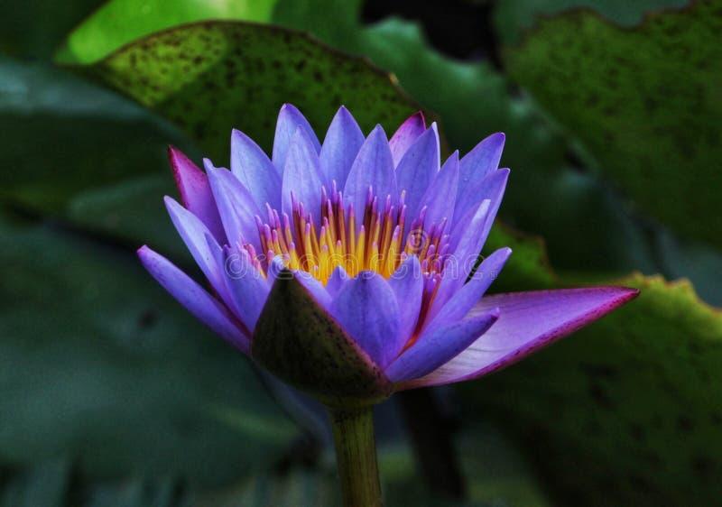Stellata de Nymphea & x28; lotus& azul/roxo x29; fotografia de stock royalty free