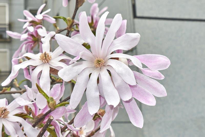 Stellata della magnolia in fioritura fotografia stock libera da diritti