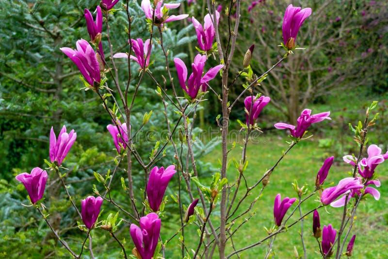 Stellata floreciente joven hermoso de la magnolia del liliiflora x de Susan Magnolia de la magnolia con las flores y los brotes r foto de archivo