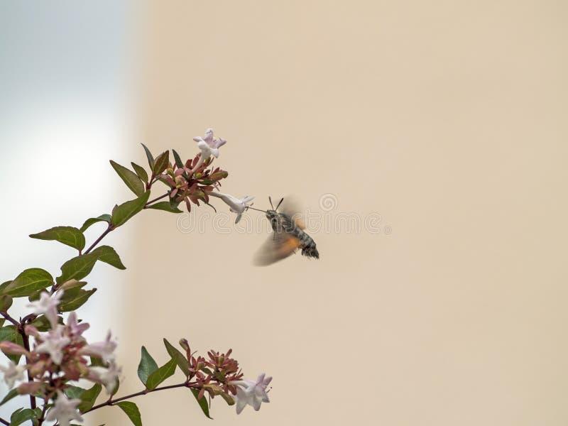 Stellatarum de Macroglossum - halcón-polilla del colibrí en una flor fotografía de archivo