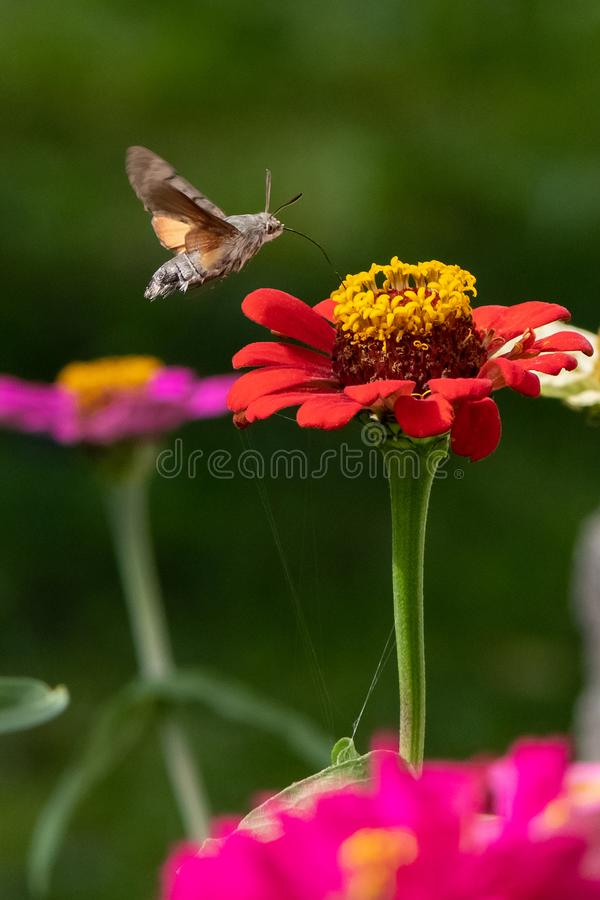 Stellatarum de Macroglossum de la Halcón-polilla del colibrí foto de archivo libre de regalías