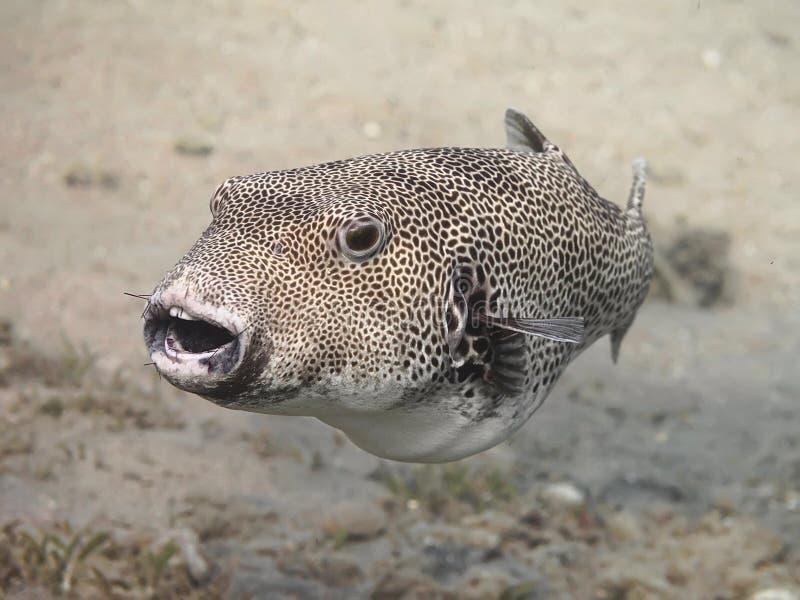 Stellatus radié d'Arothron de poissons de décolleur, également connu sous le nom de sta images stock