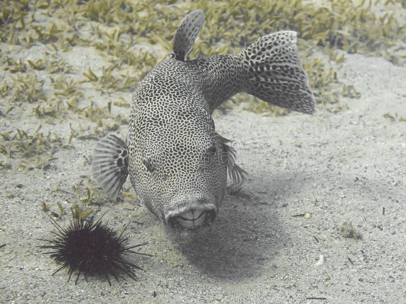 Stellatus radié d'Arothron de poissons de décolleur, également connu sous le nom de sta photographie stock libre de droits