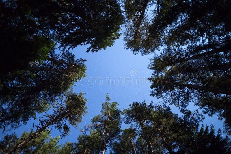 Stelle del cielo notturno dei pini da sotto fotografia stock libera da diritti