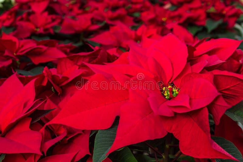 Stelle di Natale immagini stock libere da diritti