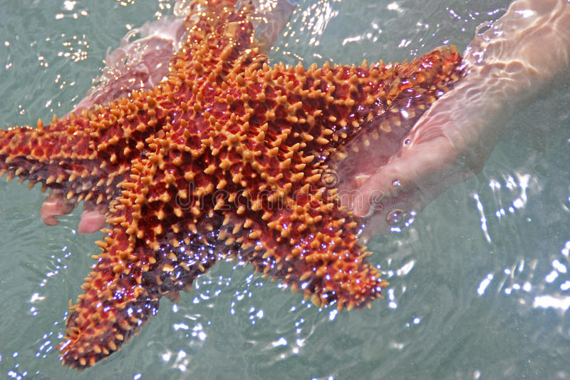 Stelle marine immagine stock