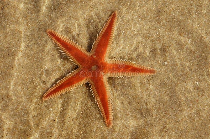 Stelle marine arancio del pettine sotto lo PS acqua di Astropecten fotografia stock libera da diritti