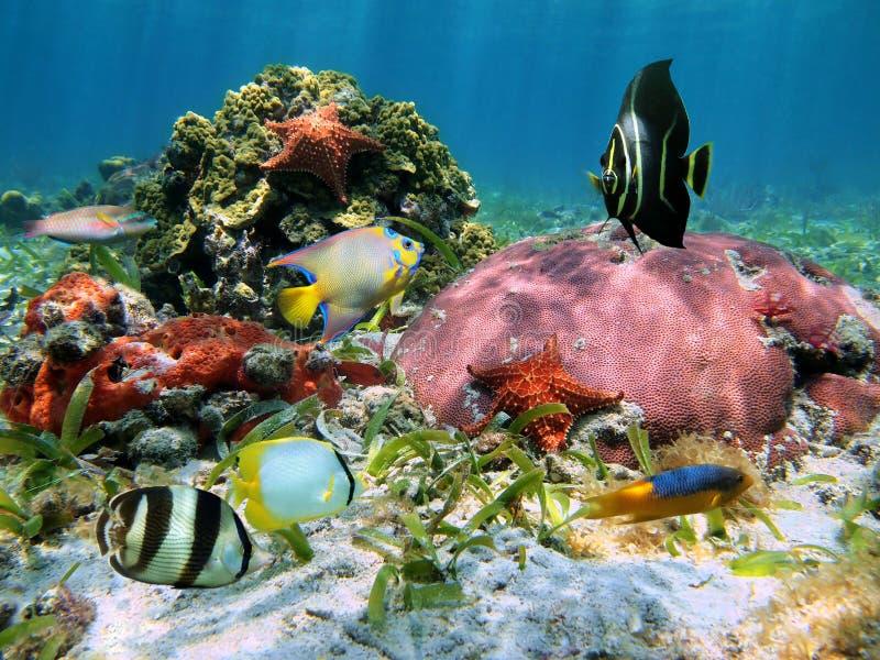 Stelle marine e coralli immagine stock