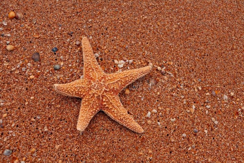 Stelle marine sole che si trovano sulla sabbia come prendere il sole turistico fotografia stock libera da diritti