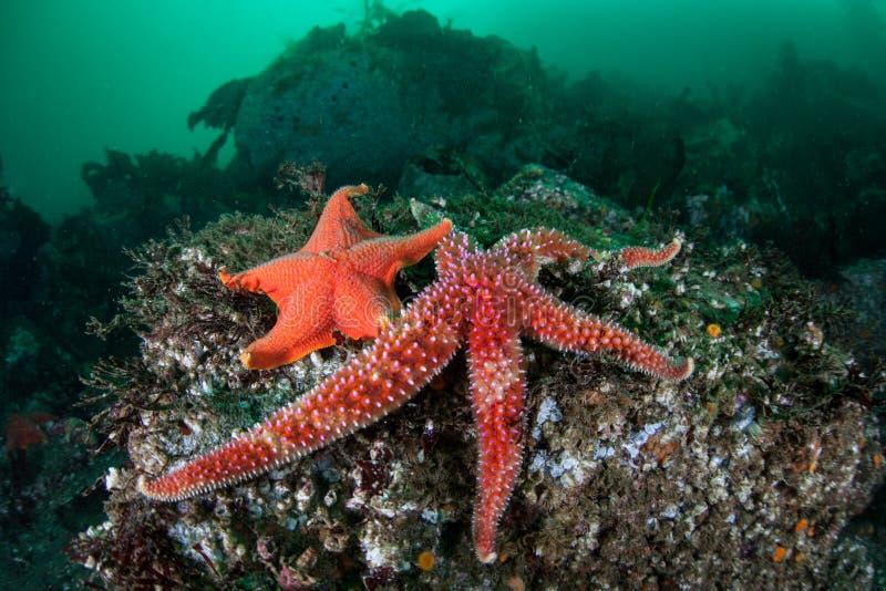 Stelle marine su fondo del mare della foresta del fuco immagine stock libera da diritti