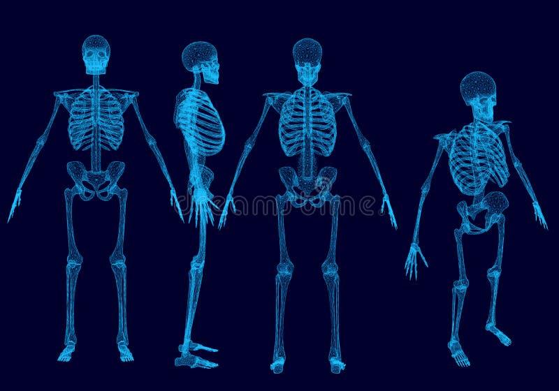 Stellen Sie mit wireframe polygonalen menschlichen Skeletten ein Front, Rückseite, Seite, isometrische Ansicht stock abbildung