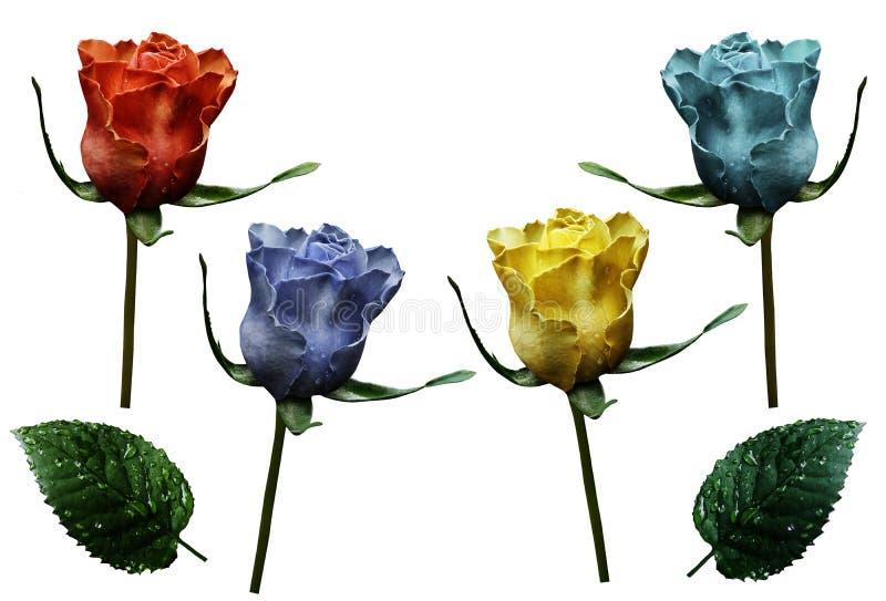 Stellen Sie Rosen ein Rot, blau, gelb, blüht Türkis auf lokalisiertem weißem Hintergrund mit Beschneidungspfad nahaufnahme Keine  stockbild