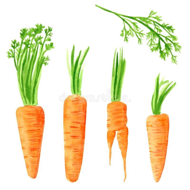 Stellen Sie vom unterschiedlichen Gemüse, Handgezogene Aquarellillustration ein Karotte stock abbildung