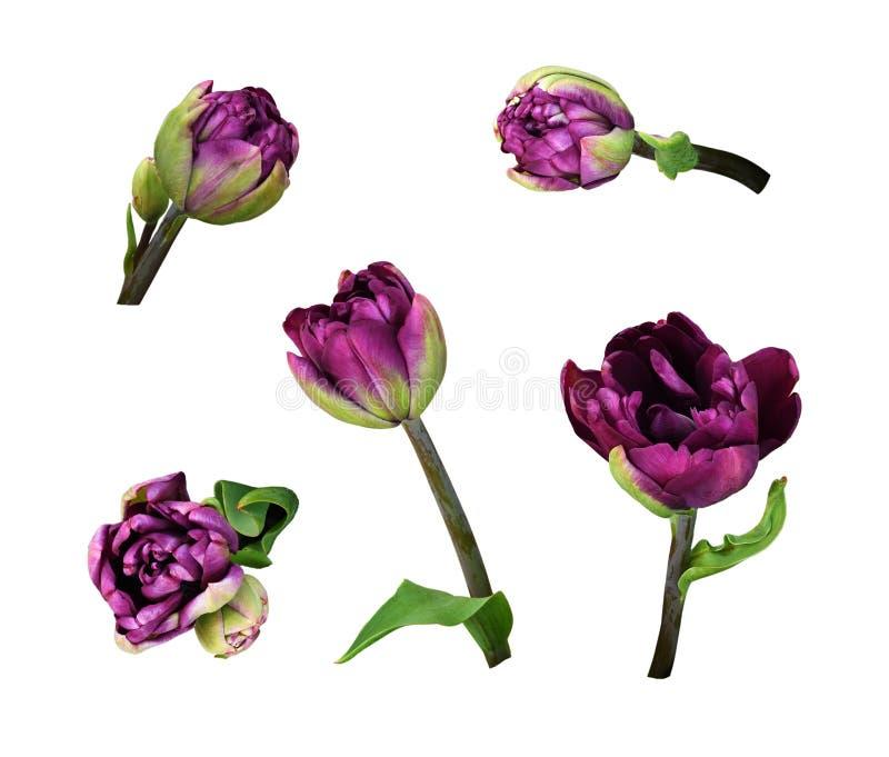 Stellen Sie von den purpurroten Pfingstrosentulpenblumen ein lizenzfreie stockbilder