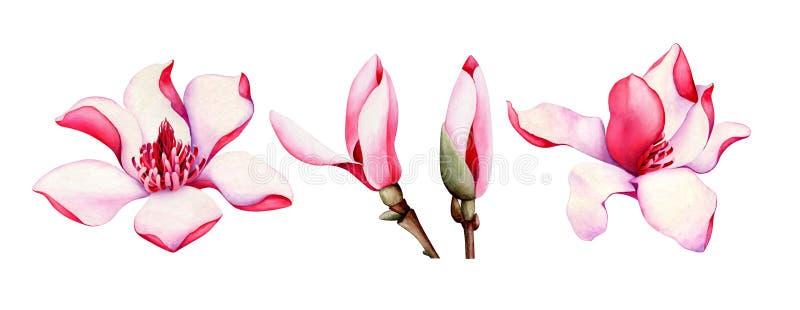 Stellen Sie von den rosa Magnolienblumen ein, die auf weißem Hintergrund lokalisiert werden Dekoratives Bild einer Flugwesenschwa vektor abbildung