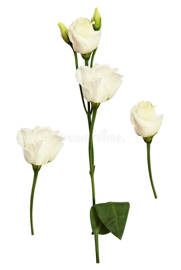 Stellen Sie von der Eustomablume und -knospen ein stockbilder