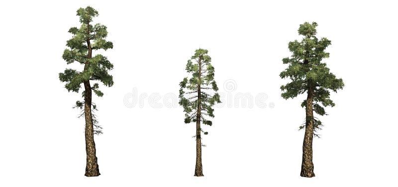 Stellen Sie von Douglas Fir-Bäumen ein stock abbildung