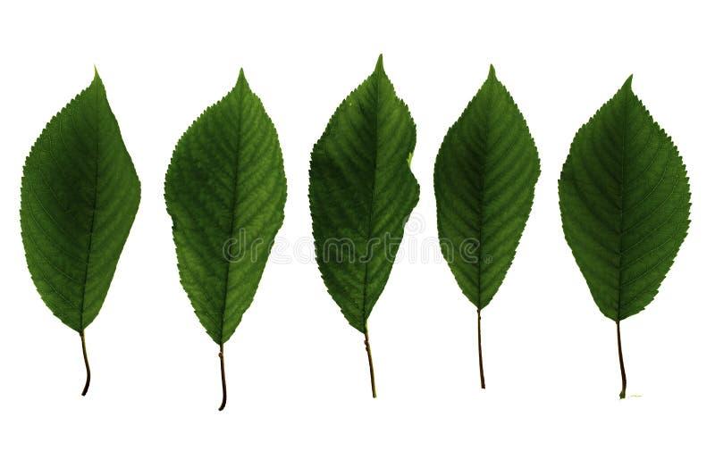 Stellen Sie von fünf grünen Blättern süßer Kirsche lokalisiert auf weißem Hintergrund ein lizenzfreies stockbild