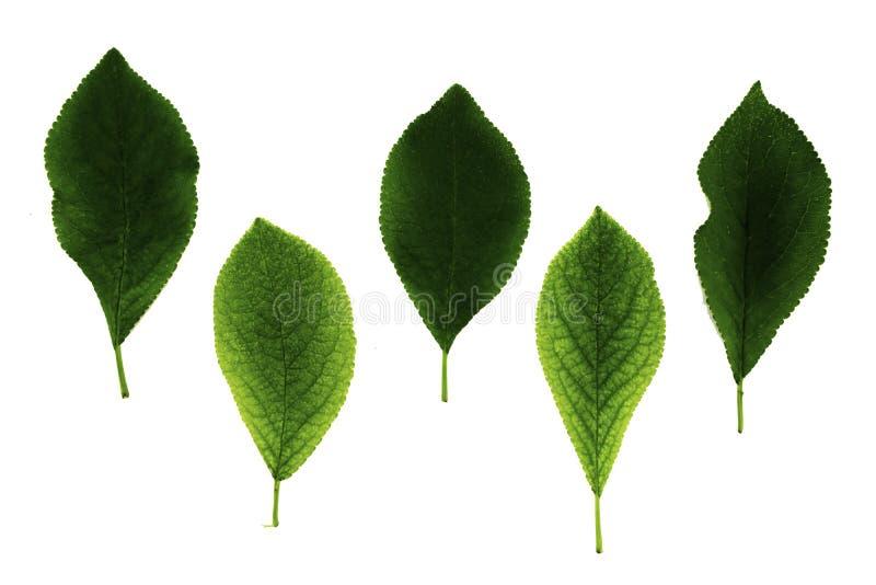 Stellen Sie von fünf grünen Pflaumenblättern ein, die auf weißem Hintergrund lokalisiert werden stockbilder