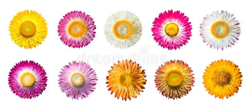 Stellen Sie von Strohblume Helichrysum bracteatum Blumen mit lokalisiert auf weißem Hintergrund ein lizenzfreie stockfotografie