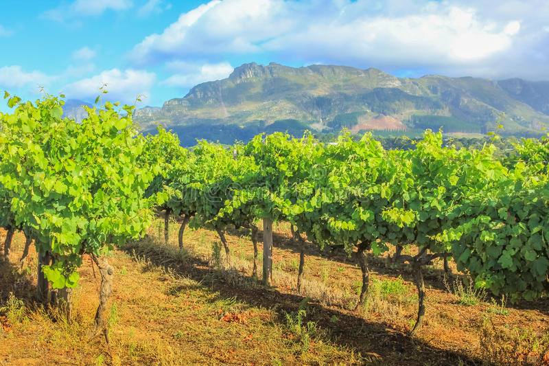 Stellenbosch Vineyards South Africa. Rows of grapes in picturesque Stellenbosch wine region with Thelema Mountain as a backdrop. The Vineyards of Stellenbosch royalty free stock photo