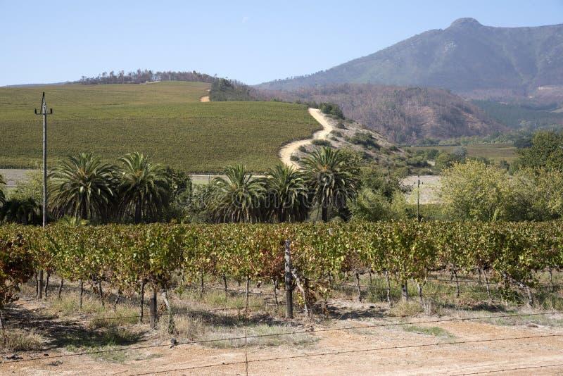 Stellenboschwijnstokken in de Westelijke Kaap Zuid-Afrika stock foto