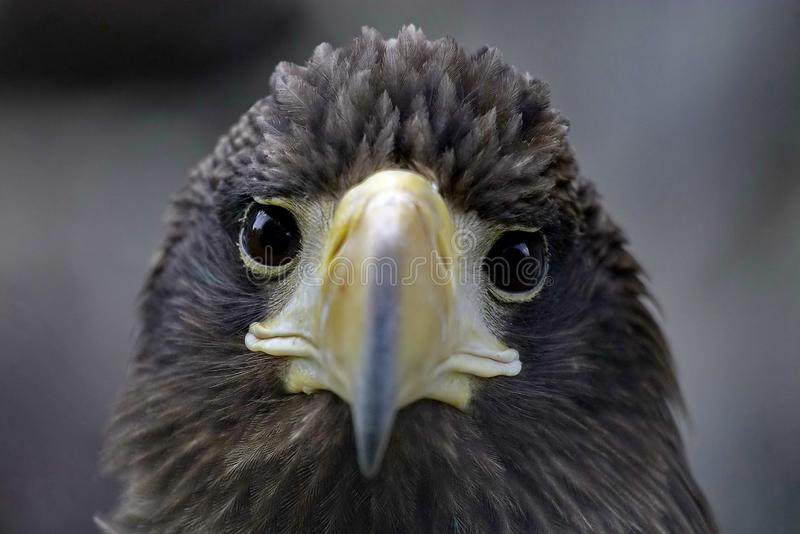Steller的海鹰拉特 Haliaeetus pelagicus是鹰家庭的一只非常大掠食性鸟,居住在沿海疆土 免版税图库摄影