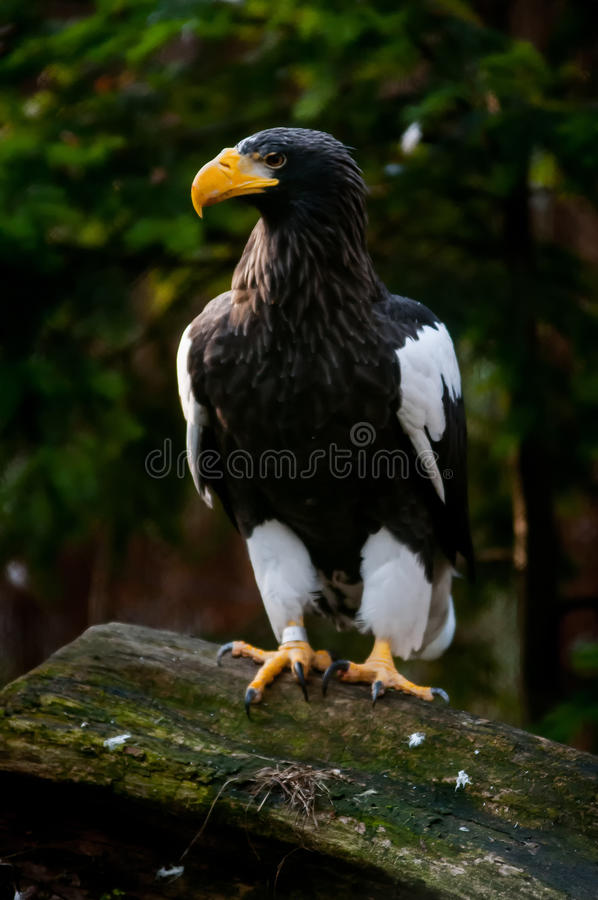 Steller Denny Eagle (Haliaeetus pelagicus) fotografia royalty free