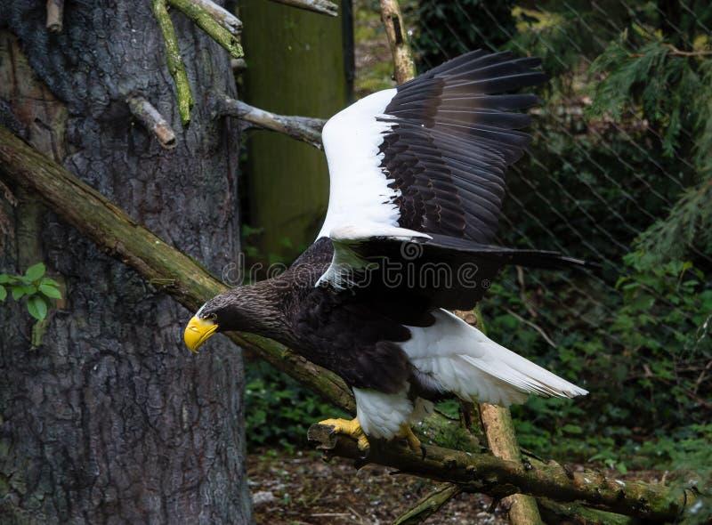 Steller-Meer Eagle im Flug lizenzfreie stockfotos